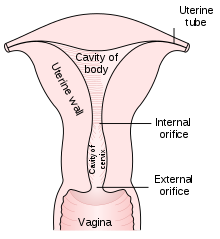 vaginal depth of canal